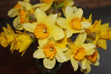 Mothering Sunday 2011: daffodils